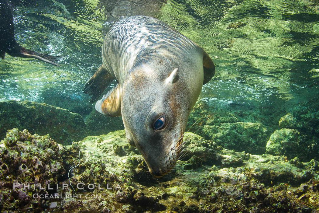 California sea lion underwater. Sea of Cortez, Baja California, Mexico, Zalophus californianus, natural history stock photograph, photo id 27446