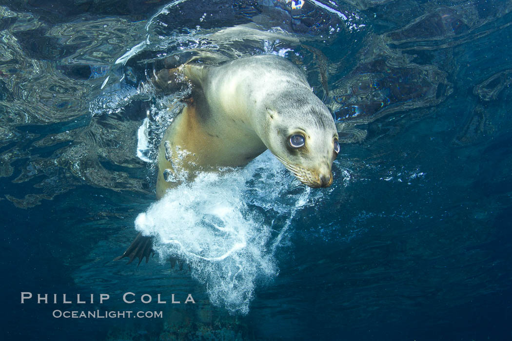 California sea lion underwater. Sea of Cortez, Baja California, Mexico, Zalophus californianus, natural history stock photograph, photo id 27424