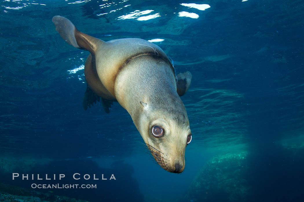 California sea lion injured by fishing line. Sea of Cortez, Baja California, Mexico, Zalophus californianus, natural history stock photograph, photo id 27419