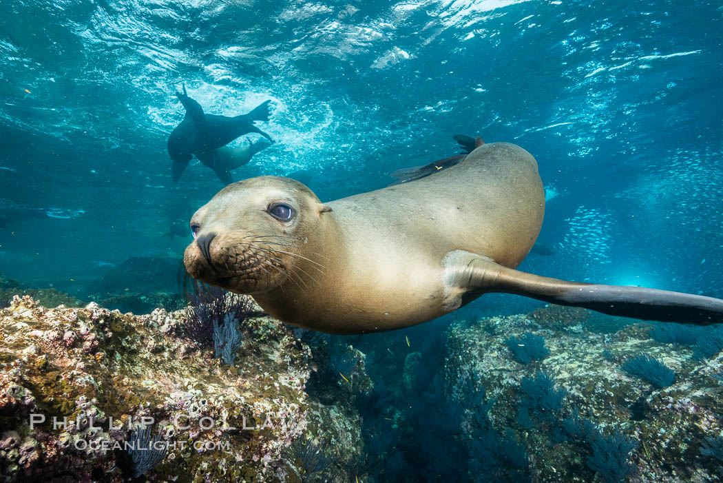 California sea lion underwater, Sea of Cortez, Mexico. Baja California, Zalophus californianus, natural history stock photograph, photo id 31214