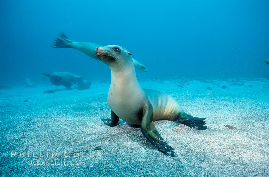 California sea lion, Webster Point rookery., Zalophus californianus, natural history stock photograph, photo id 03809