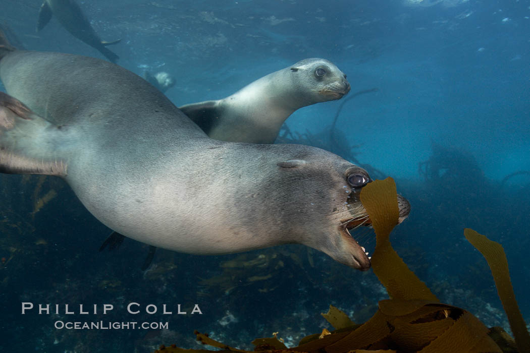 A California sea lion plays with a piece of kelp, underwater at Santa Barbara Island.  Santa Barbara Island, 38 miles off the coast of southern California, is part of the Channel Islands National Marine Sanctuary and Channel Islands National Park.  It is home to a large population of sea lions. Santa Barbara Island, California, USA, Zalophus californianus, natural history stock photograph, photo id 23427