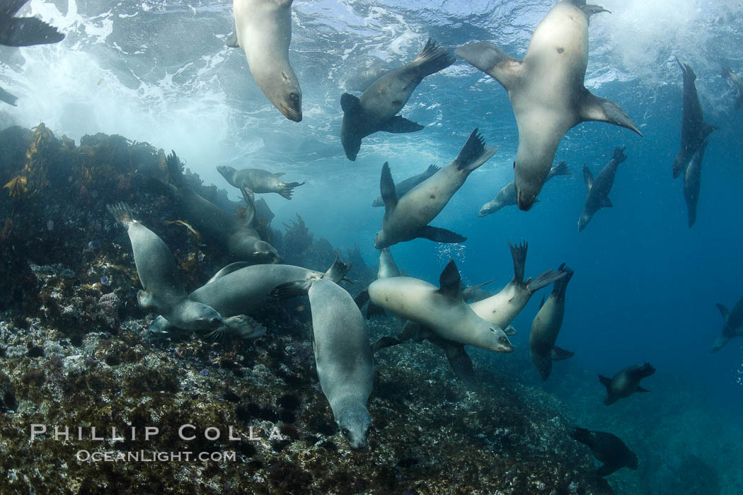 California sea lions, underwater at Santa Barbara Island.  Santa Barbara Island, 38 miles off the coast of southern California, is part of the Channel Islands National Marine Sanctuary and Channel Islands National Park.  It is home to a large population of sea lions. Santa Barbara Island, California, USA, Zalophus californianus, natural history stock photograph, photo id 23429