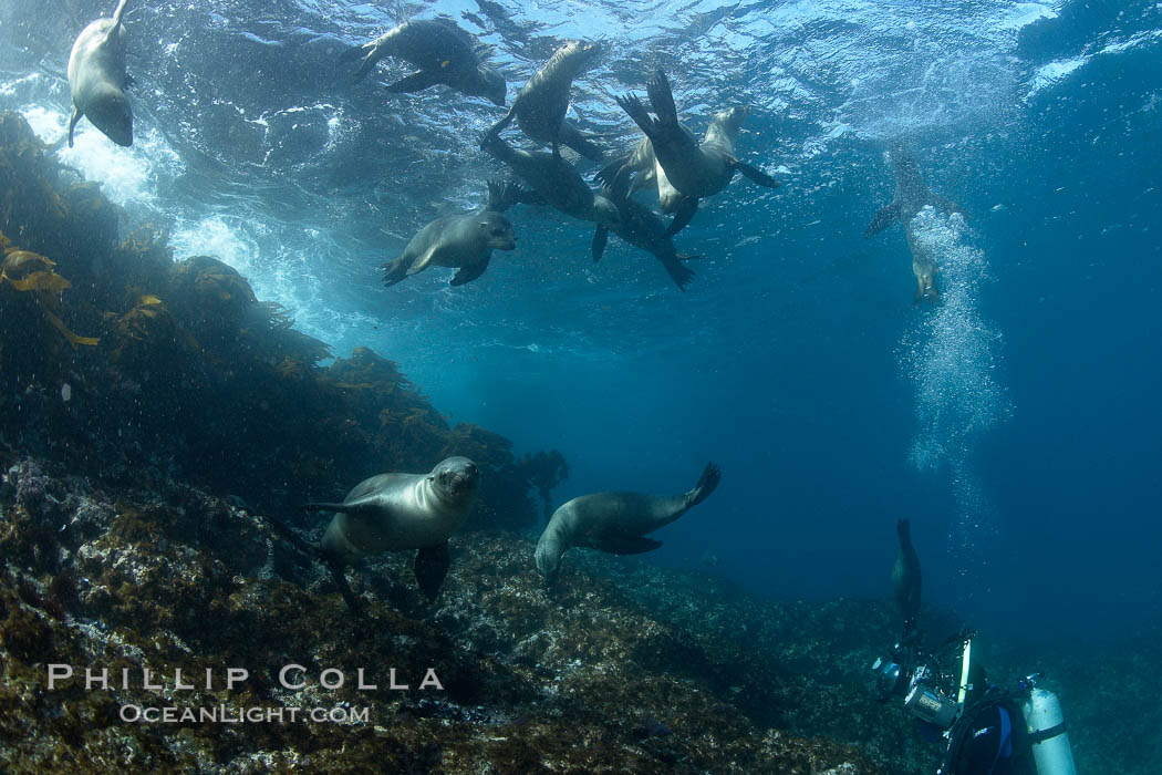 California sea lions, underwater at Santa Barbara Island.  Santa Barbara Island, 38 miles off the coast of southern California, is part of the Channel Islands National Marine Sanctuary and Channel Islands National Park.  It is home to a large population of sea lions. Santa Barbara Island, California, USA, Zalophus californianus, natural history stock photograph, photo id 23549