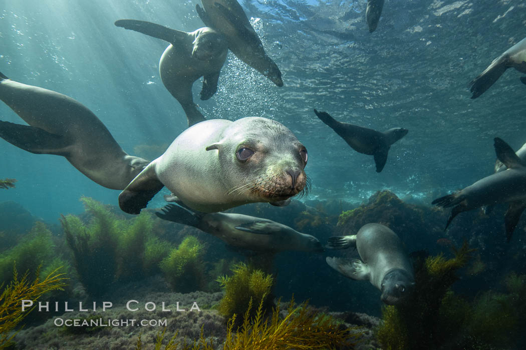 California sea lions underwater, Coronados Islands, Baja California, Mexico, Zalophus californianus, Coronado Islands (Islas Coronado)