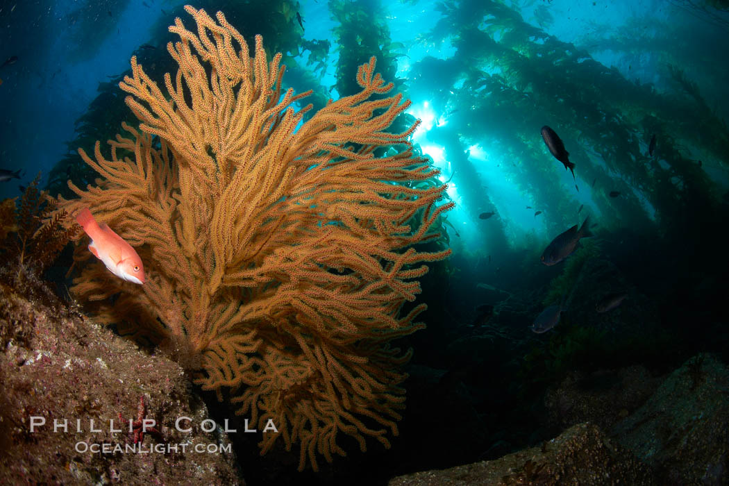 California sheephead and golden gorgonian, giant kelp forest filters sunlight in the background, underwater. Catalina Island, USA, Semicossyphus pulcher, Muricea californica, natural history stock photograph, photo id 23449