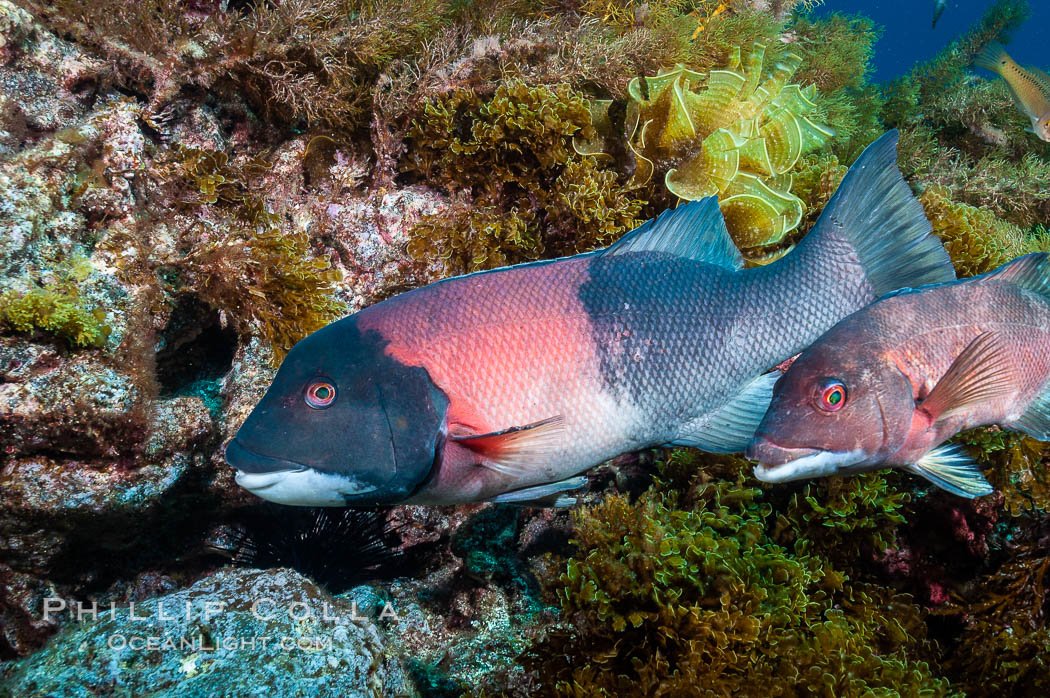 Sheephead wrasse, adult male coloration (a juvenile or female is partially seen to the right), Semicossyphus pulcher, Guadalupe Island (Isla Guadalupe)