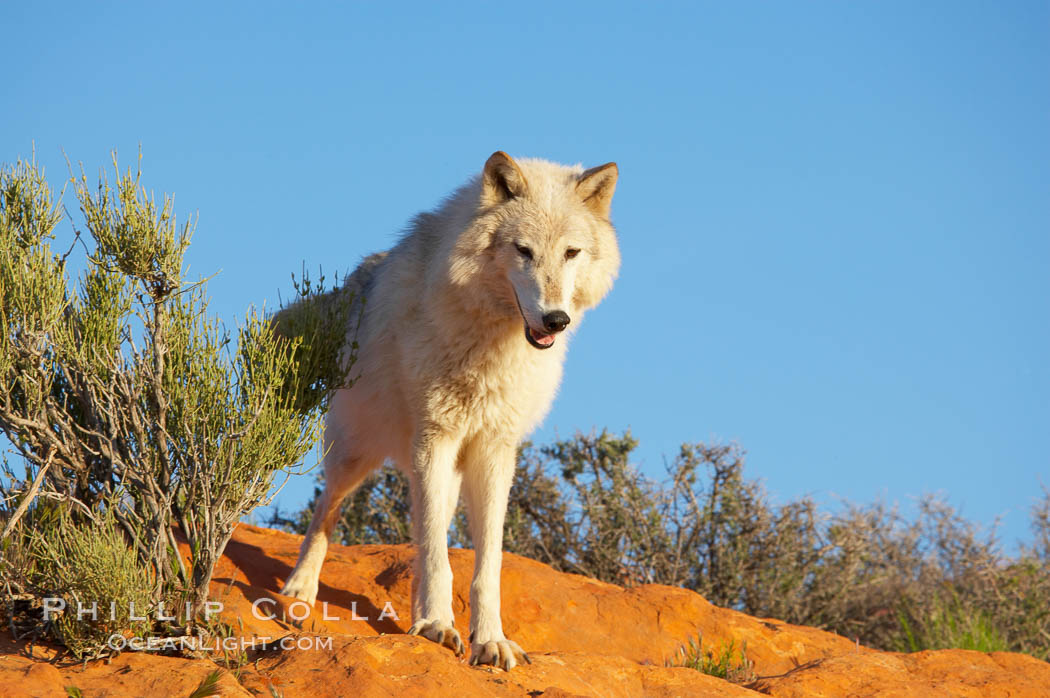 Gray wolf., Canis lupus, natural history stock photograph, photo id 12418