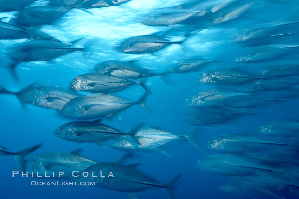 Bigeye trevally jacks, motion blur, schooling. Darwin Island, Galapagos Islands, Ecuador, Caranx sexfasciatus, natural history stock photograph, photo id 16347