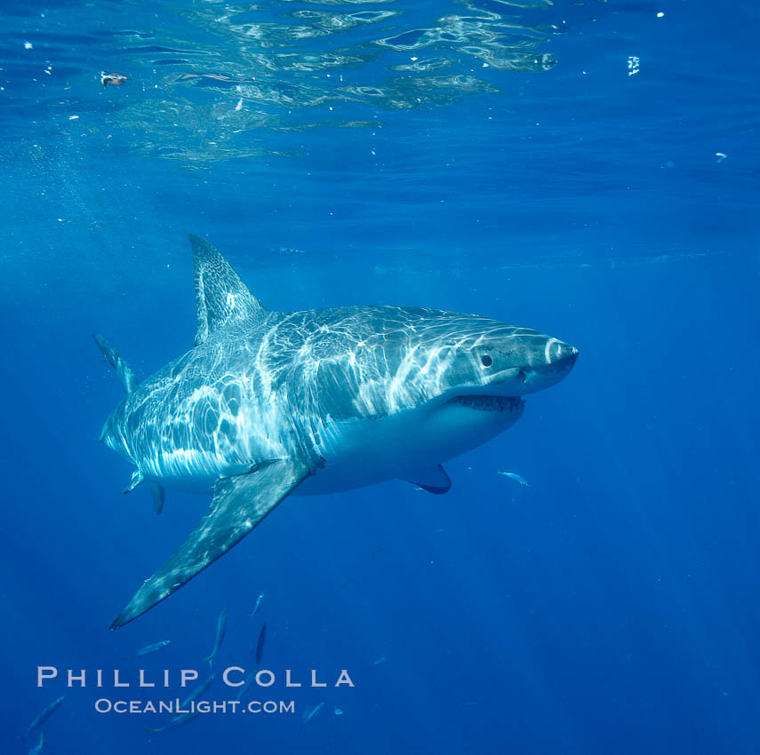 Great white shark. Guadalupe Island (Isla Guadalupe), Baja California, Mexico, Carcharodon carcharias, natural history stock photograph, photo id 20942