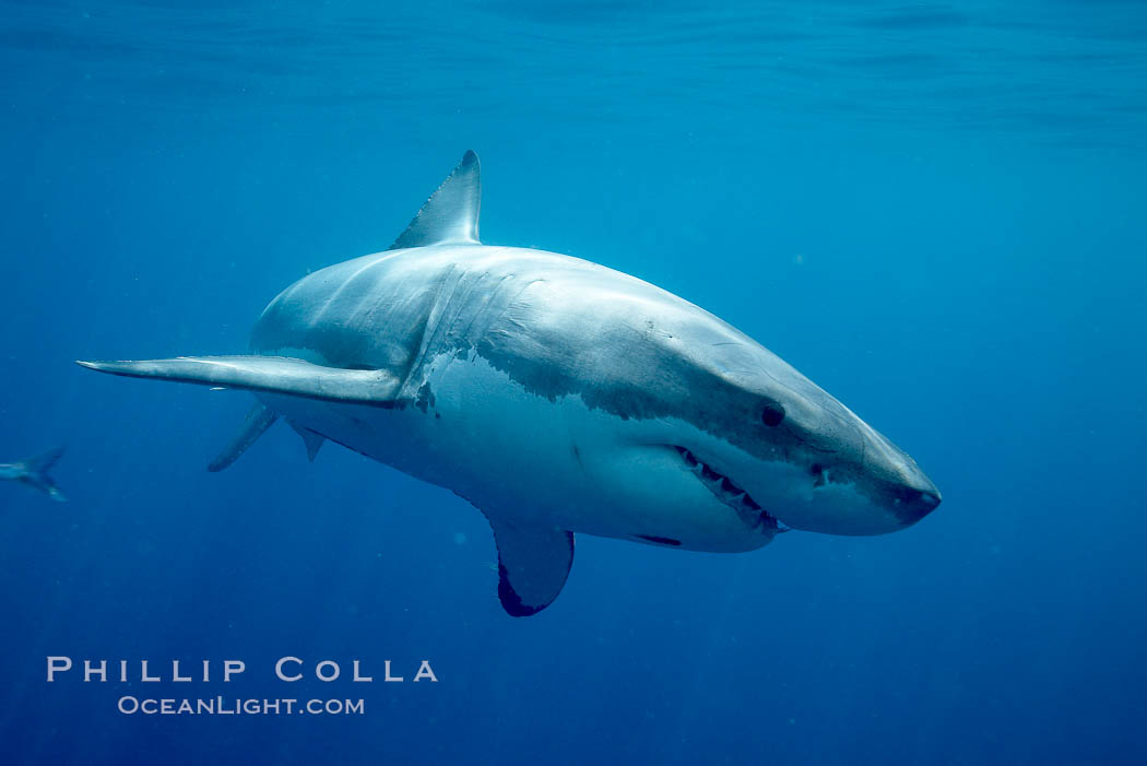 Great white shark. Guadalupe Island (Isla Guadalupe), Baja California, Mexico, Carcharodon carcharias, natural history stock photograph, photo id 20944
