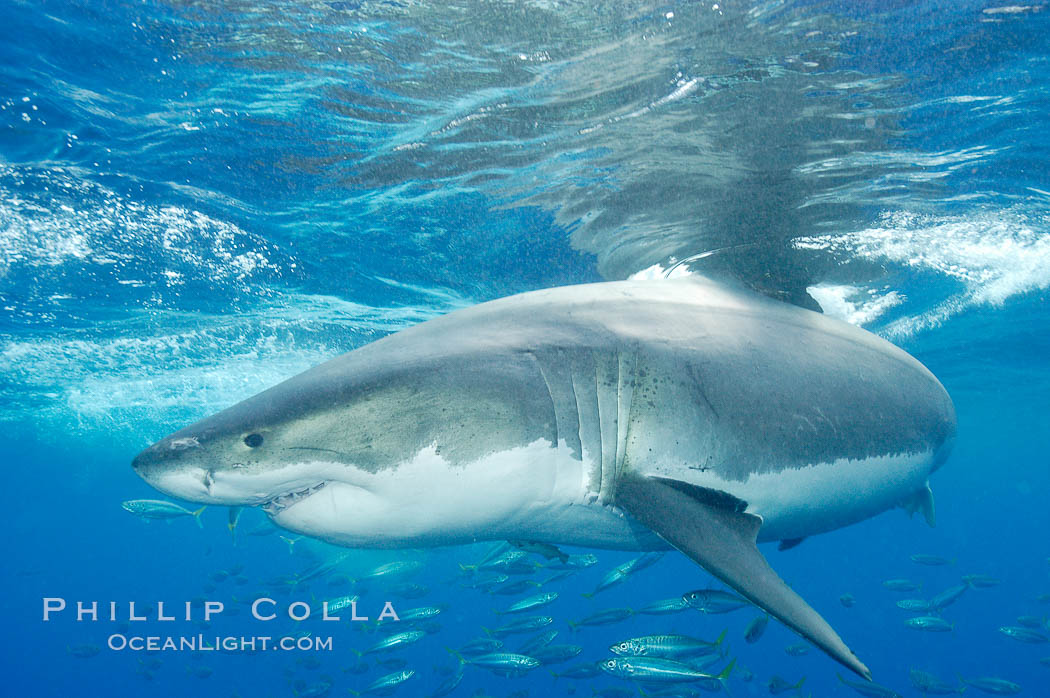 A great white shark underwater.  A large great white shark cruises the clear oceanic waters of Guadalupe Island (Isla Guadalupe)., Carcharodon carcharias,  Copyright Phillip Colla, image #10111, all rights reserved worldwide.