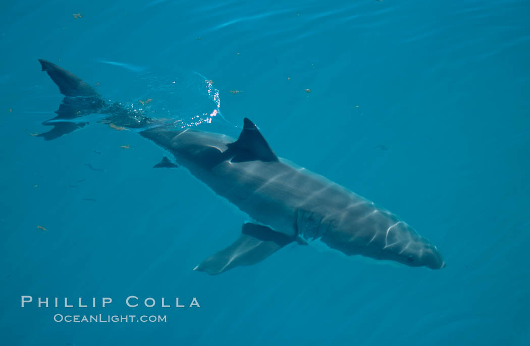 A great white shark swims just below the rippled ocean surface of Isla Guadalupe, far offshore of the Pacific Coast of Baja California. Guadalupe Island (Isla Guadalupe), Baja California, Mexico, Carcharodon carcharias, natural history stock photograph, photo id 07717