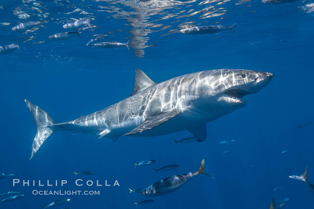 A great white shark swims through the clear waters of Isla Guadalupe, far offshore of the Pacific Coast of Mexico's Baja California. Guadalupe Island is host to a concentration of large great white sharks, which visit the island to feed on pinnipeds and use it as a staging area before journeying farther into the Pacific ocean. Guadalupe Island (Isla Guadalupe), Baja California, Mexico, Carcharodon carcharias, natural history stock photograph, photo id 19453