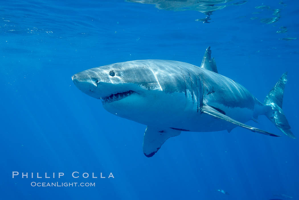 Great white shark. Guadalupe Island (Isla Guadalupe), Baja California, Mexico, Carcharodon carcharias, natural history stock photograph, photo id 20941