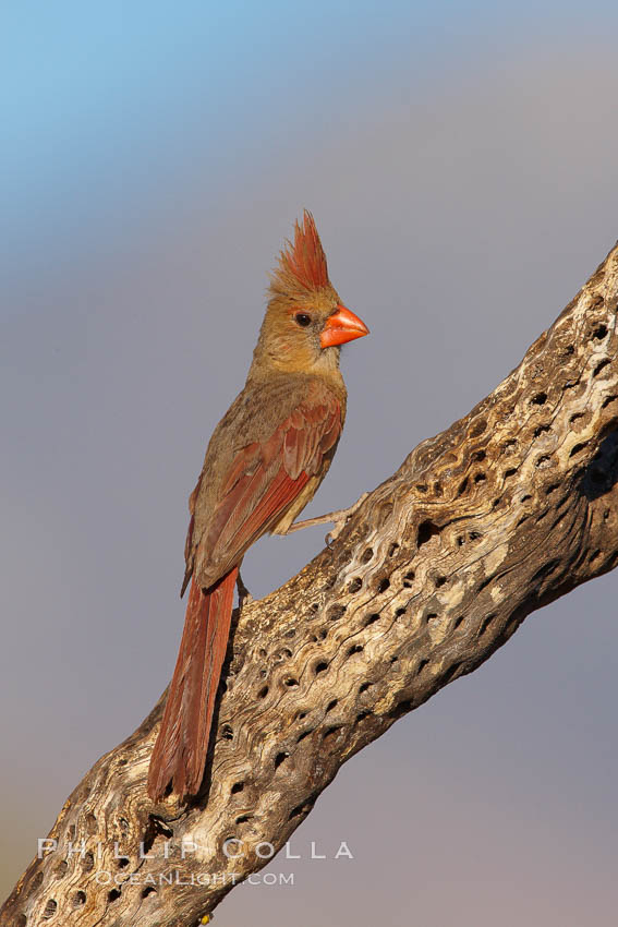 Northern cardinal, female., Cardinalis cardinalis,  Copyright Phillip Colla, image #22929, all rights reserved worldwide.