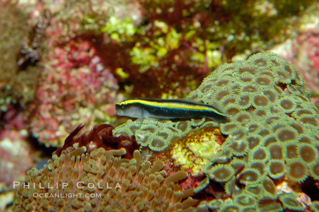 Unidentified Caribbean goby., natural history stock photograph, photo id 09468