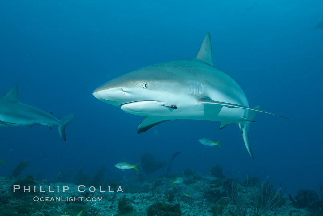 Caribbean reef shark with fishing hook. Bahamas, Carcharhinus perezi, natural history stock photograph, photo id 31980