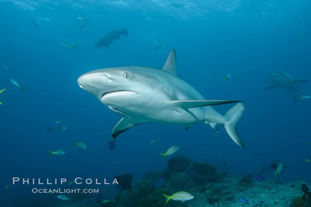 Caribbean reef shark. Bahamas, Carcharhinus perezi, natural history stock photograph, photo id 31987
