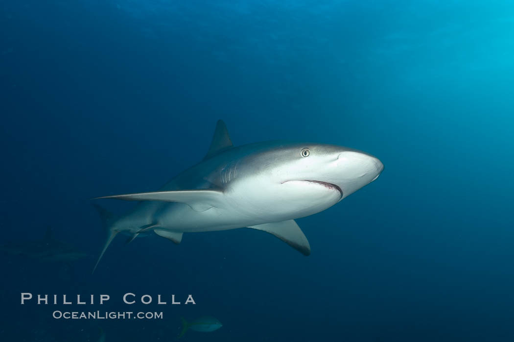 Caribbean reef shark. Bahamas, Carcharhinus perezi, natural history stock photograph, photo id 10565