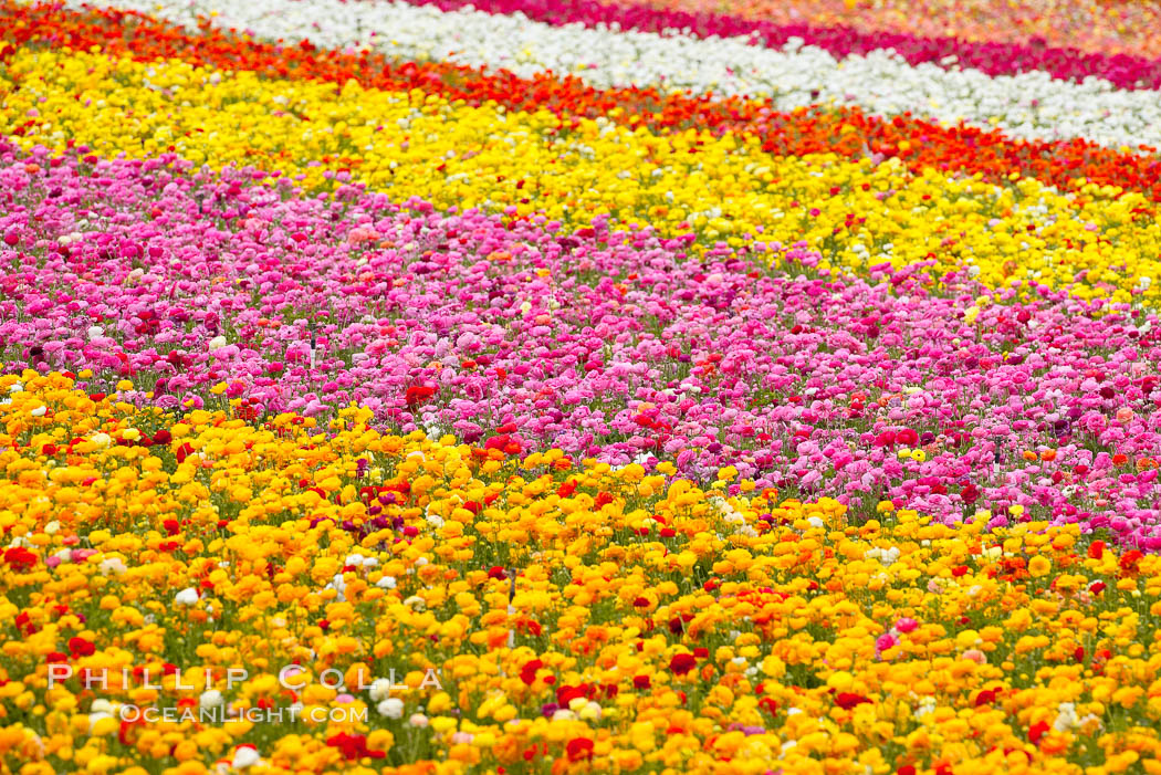 The Carlsbad Flower Fields, 50+ acres of flowering Tecolote Ranunculus flowers, bloom each spring from March through May. Carlsbad Flower Fields, Carlsbad, California, USA, natural history stock photograph, photo id 18910