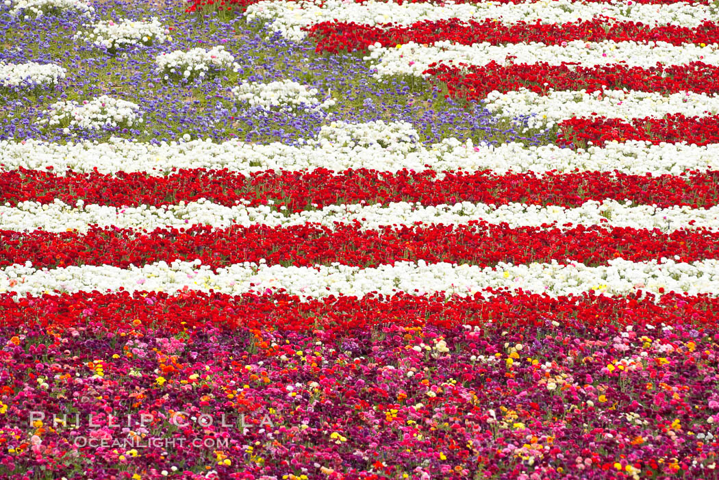 An American Flag composed of flowers at the Carlsbad Flower Fields.  The Flower Fields, 50+ acres of flowering Tecolote Ranunculus flowers, bloom each spring from March through May. Carlsbad Flower Fields, Carlsbad, California, USA, natural history stock photograph, photo id 18928