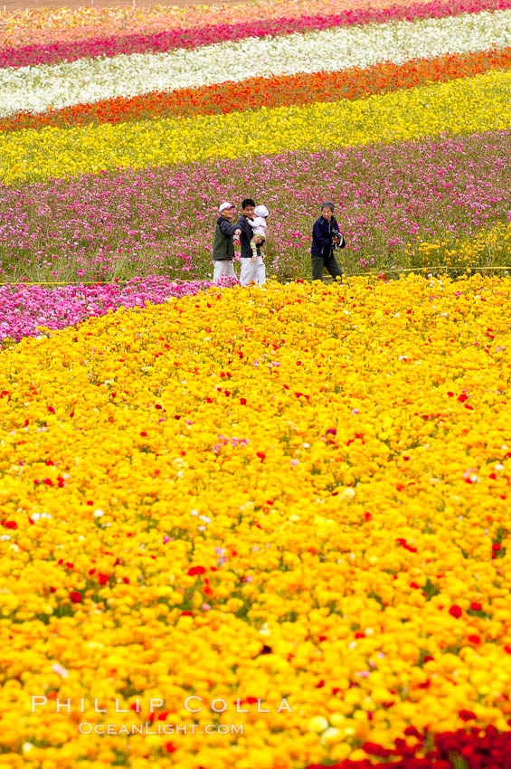 The Carlsbad Flower Fields, 50+ acres of flowering Tecolote Ranunculus flowers, bloom each spring from March through May. Carlsbad Flower Fields, Carlsbad, California, USA, natural history stock photograph, photo id 18919