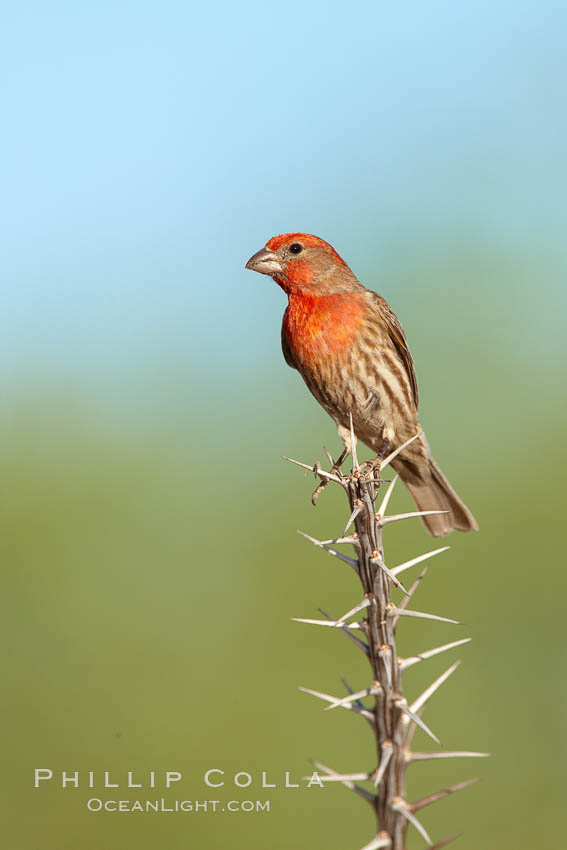 House finch, male. Amado, Arizona, USA, Carpodacus mexicanus, natural history stock photograph, photo id 22986