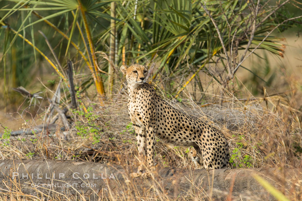 Cheetah, Meru National Park. Kenya, Acinonyx jubatus, natural history stock photograph, photo id 29618