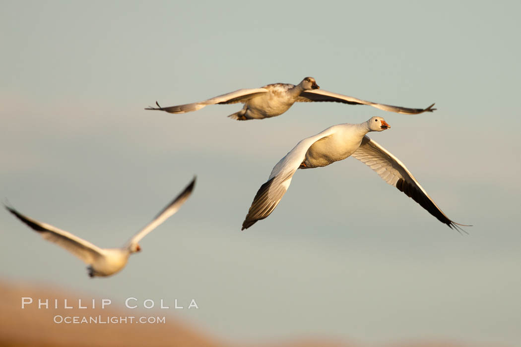 Snow geese in flight, late afternoon light. Bosque Del Apache, Socorro, New Mexico, USA, Chen caerulescens, natural history stock photograph, photo id 26226