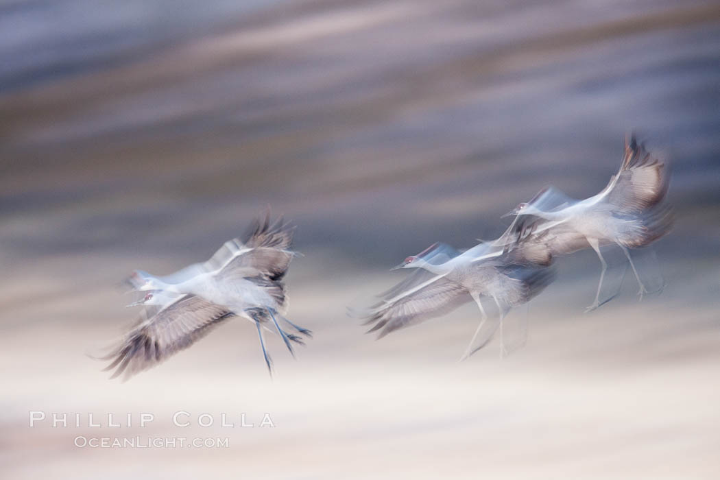 Snow geese in flight, wings are blurred in long time exposure as they are flying. Bosque Del Apache, Socorro, New Mexico, USA, Chen caerulescens, natural history stock photograph, photo id 26274