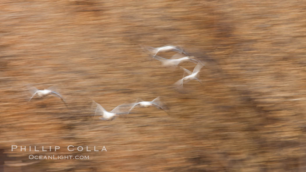 Snow geese in flight, wings are blurred in long time exposure as they are flying. Bosque Del Apache, Socorro, New Mexico, USA, Chen caerulescens, natural history stock photograph, photo id 26255