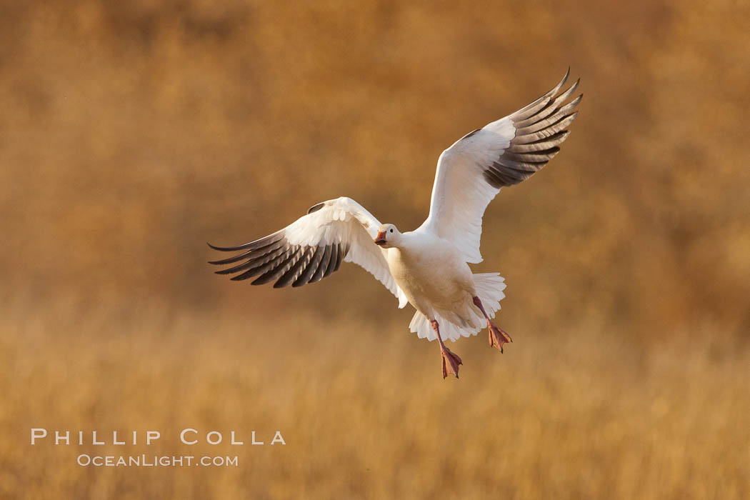 Snow goose in flight. Bosque Del Apache, Socorro, New Mexico, USA, Chen caerulescens, natural history stock photograph, photo id 26199