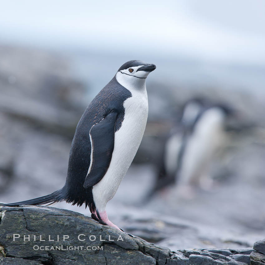 Chinstrap penguin. Shingle Cove, Coronation Island, South Orkney Islands, Southern Ocean, Pygoscelis antarcticus, natural history stock photograph, photo id 25167