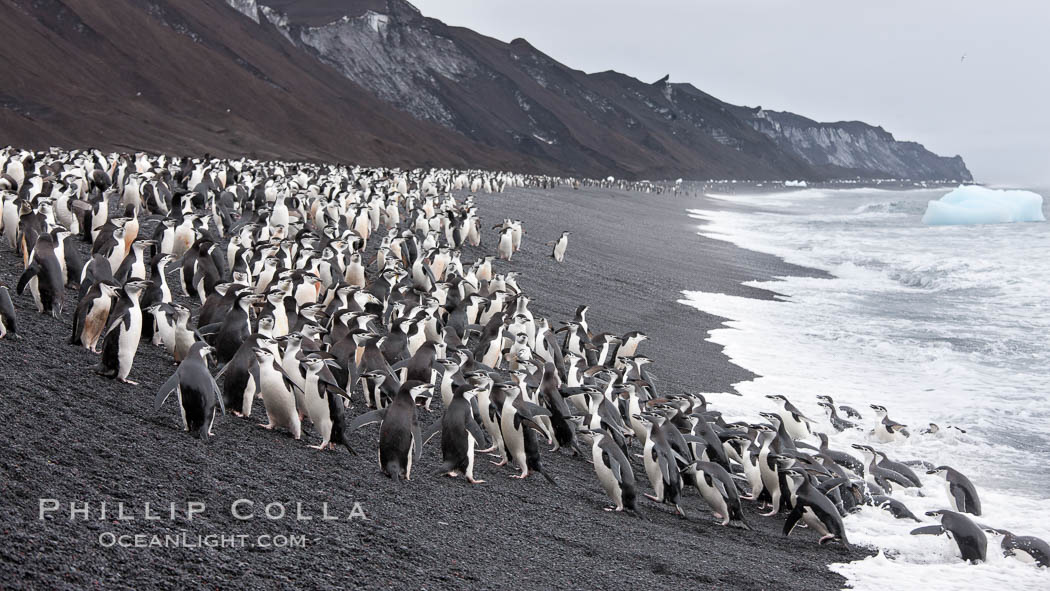 Chinstrap penguins at Bailey Head, Deception Island.  Chinstrap penguins enter and exit the surf on the black sand beach at Bailey Head on Deception Island.  Bailey Head is home to one of the largest colonies of chinstrap penguins in the world. Deception Island, Antarctic Peninsula, Antarctica, Pygoscelis antarcticus, natural history stock photograph, photo id 25467