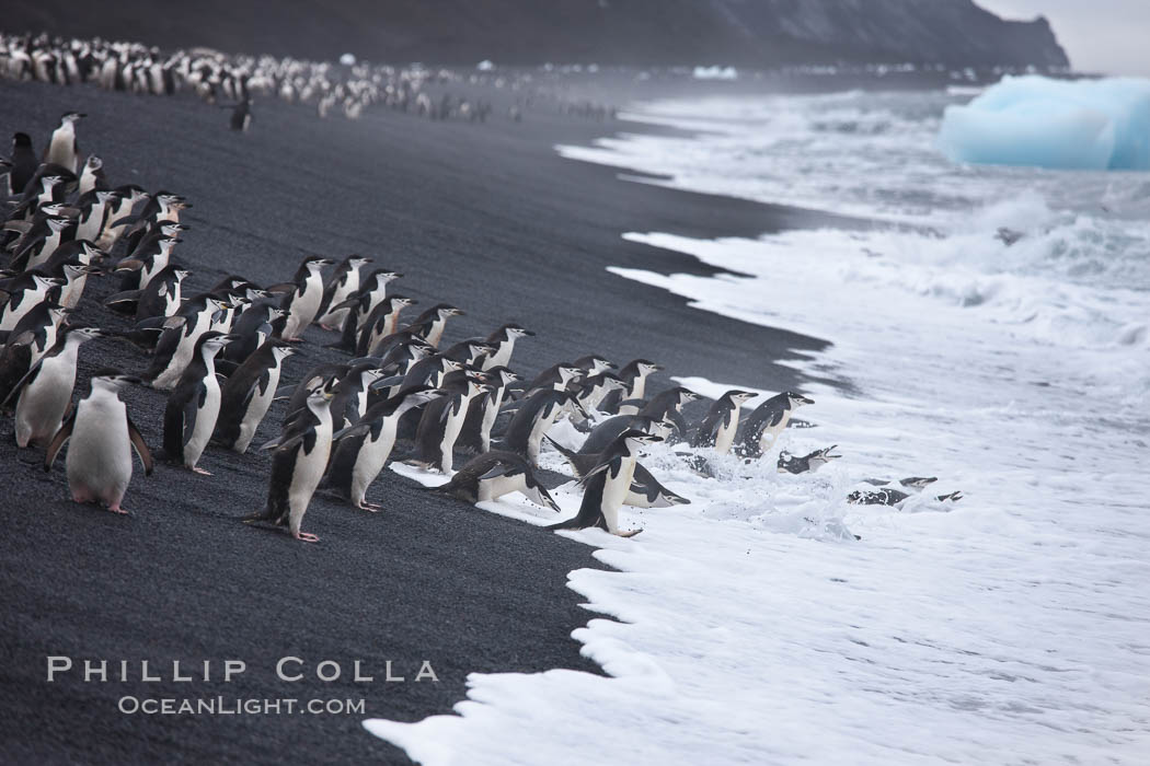 Chinstrap penguins at Bailey Head, Deception Island.  Chinstrap penguins enter and exit the surf on the black sand beach at Bailey Head on Deception Island.  Bailey Head is home to one of the largest colonies of chinstrap penguins in the world. Deception Island, Antarctic Peninsula, Antarctica, Pygoscelis antarcticus, natural history stock photograph, photo id 25473