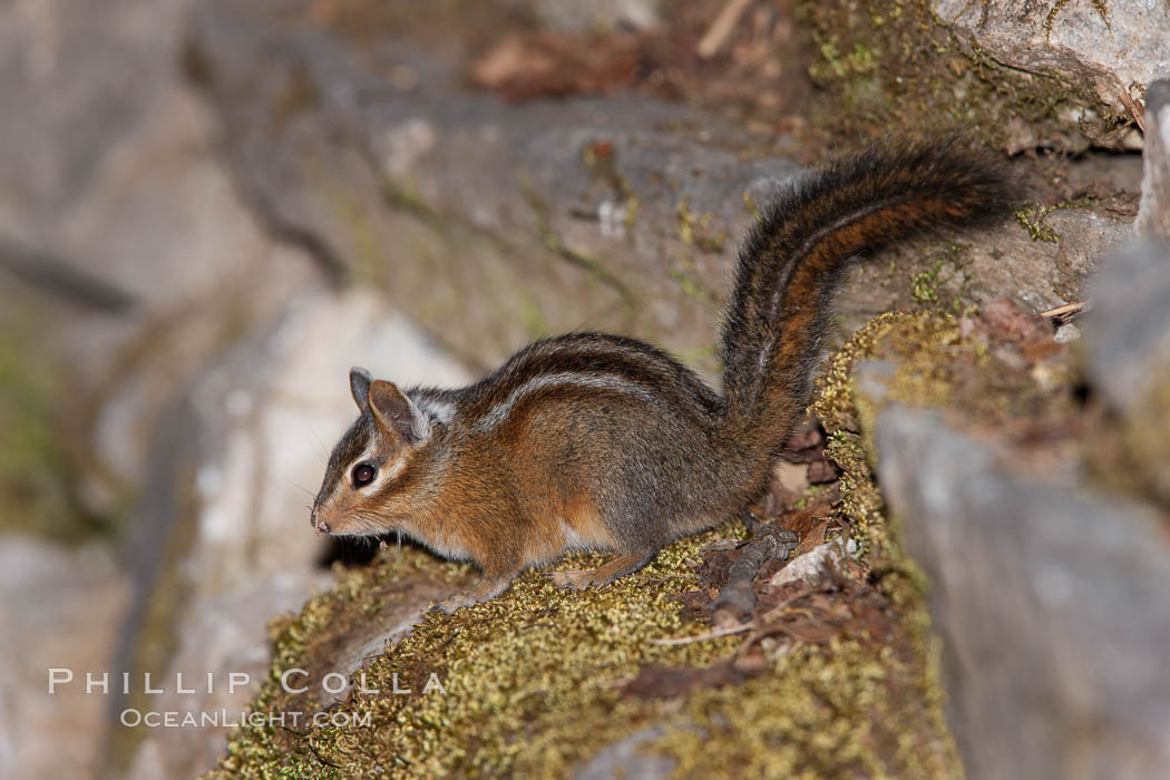 Chipmunk. Oregon Caves National Monument, Oregon, USA, Tamias, natural history stock photograph, photo id 25872