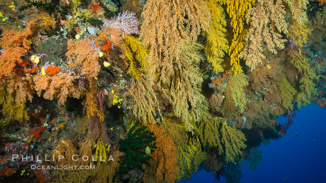 Colorful Chironephthya soft coral coloniea in Fiji, hanging off wall, resembling sea fans or gorgonians. Mount Mutiny, Bligh Waters, Fiji, Gorgonacea, Chironephthya, Vatu I Ra Passage