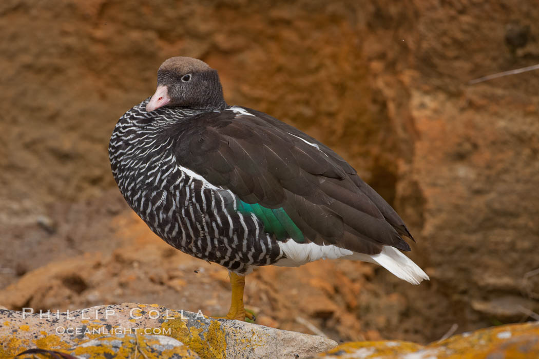 Kelp goose, female with multicolored plumage very different from the pure white of male kelp geese.  The kelp goose is noted for eating only seaweed, primarily of the genus ulva.  It inhabits rocky coastline habitats where it forages for kelp. New Island, Falkland Islands, United Kingdom, Chloephaga hybrida, Chloephaga hybrida malvinarum, natural history stock photograph, photo id 23758
