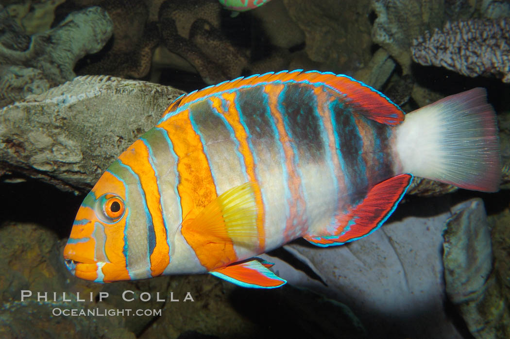Harlequin tuskfish., Choerodon fasciatus, natural history stock photograph, photo id 08846