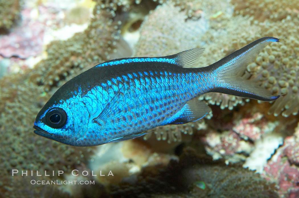 Blue chromis., Chromis cyanea, natural history stock photograph, photo id 11775