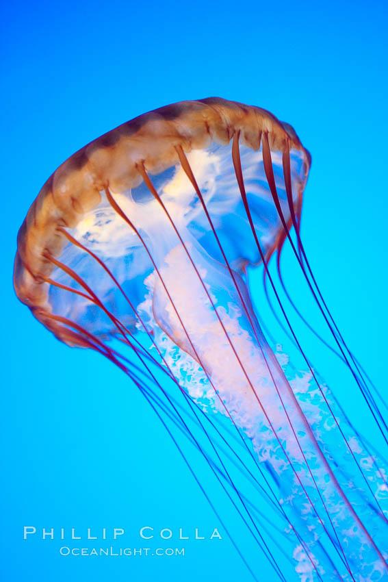 Sea nettle jellyfish, Chrysaora fuscescens