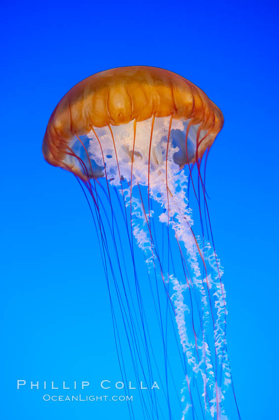 Sea nettles., Chrysaora fuscescens, natural history stock photograph, photo id 14929