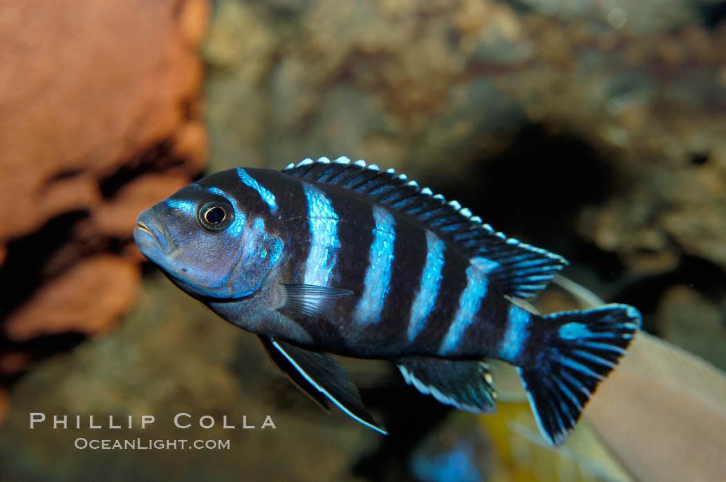 African cichlid fish for African cichlid fish