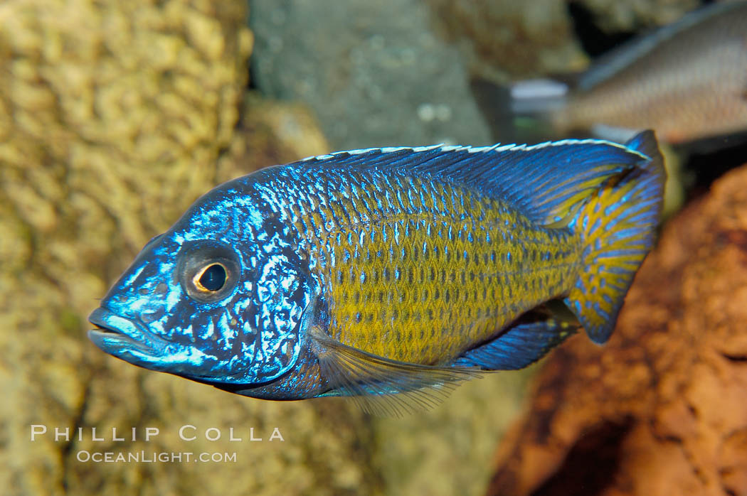 Cichlid Fish African Blood Parrot