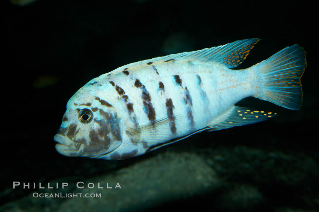 Unidentified cichlid fish., natural history stock photograph, photo id 11021