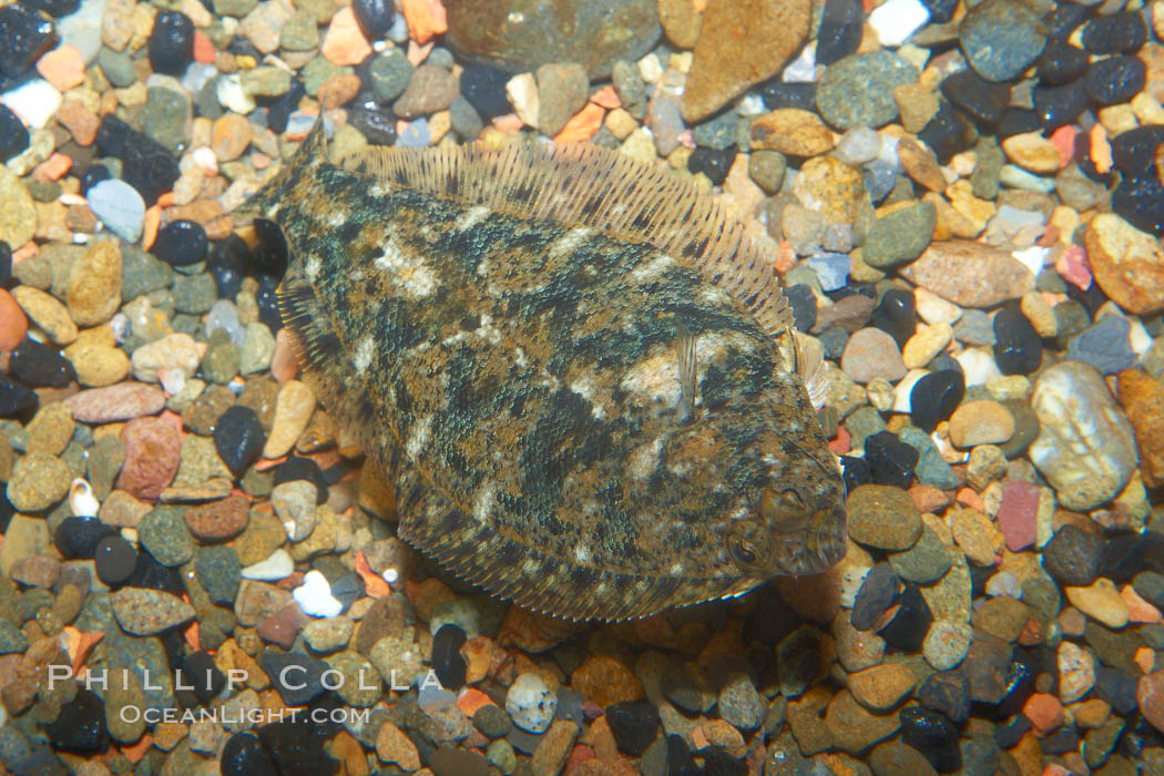 A small 2-inch sanddab is well-camoflaged against the grains of sand that surround it., Citharichthys, natural history stock photograph, photo id 21523