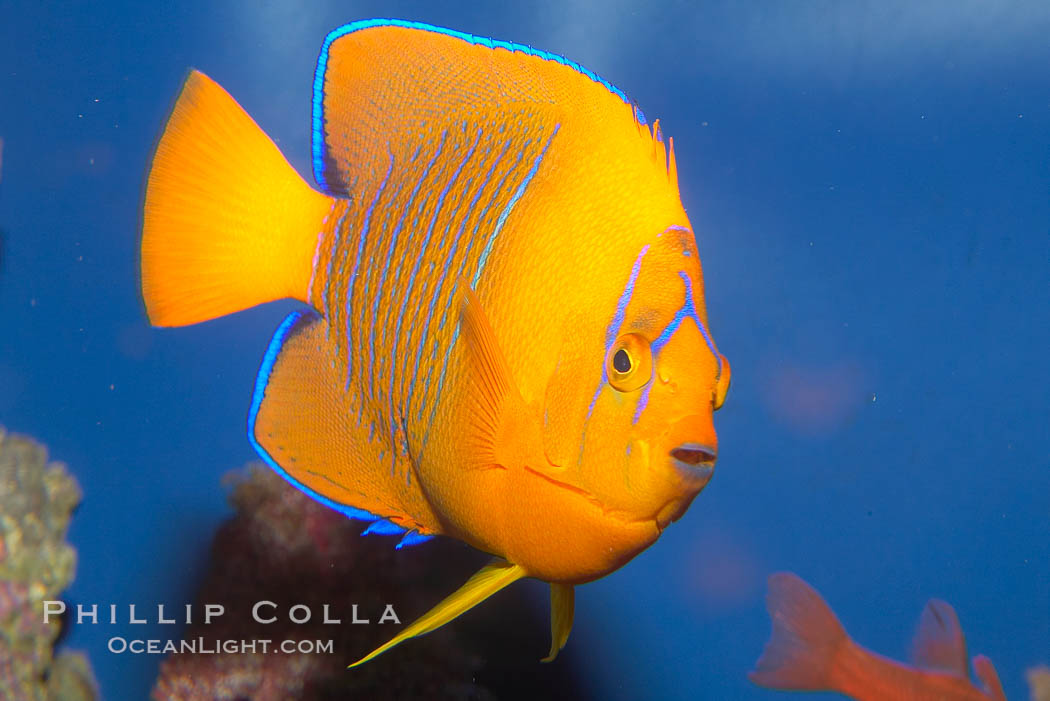 Adult Clarion Angelfish