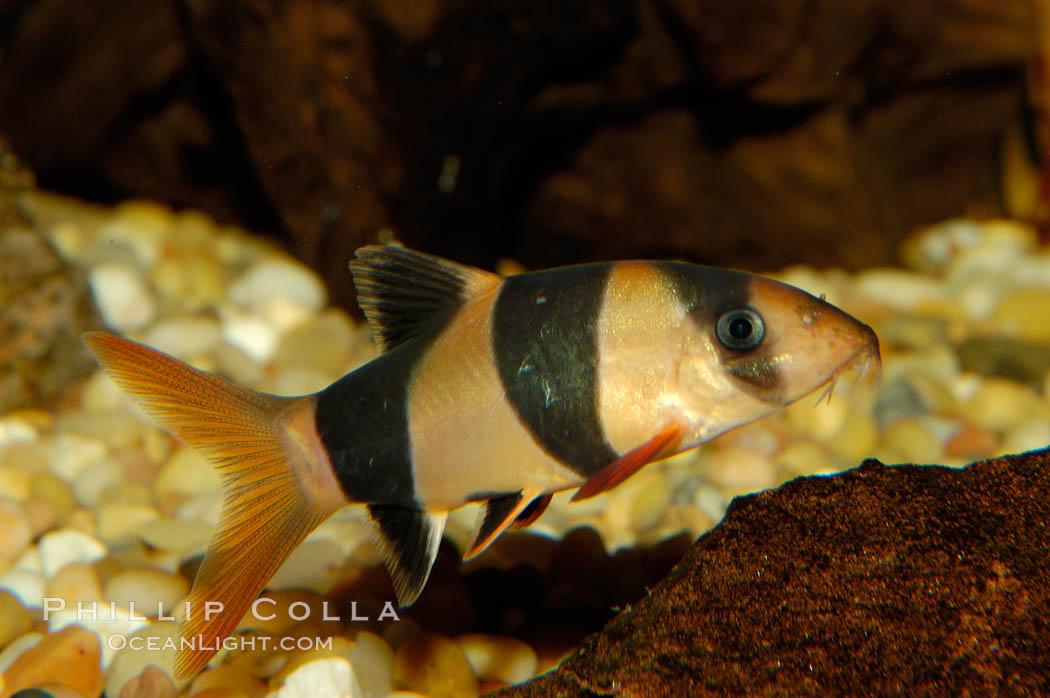 Clown loach photo stock photograph of a clown loach for Clown loach fish