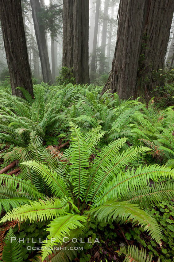 Ferns grow below coastal redwood and Douglas Fir trees, Lady Bird Johnson Grove, Redwood National Park.  The coastal redwood, or simply 'redwood', is the tallest tree on Earth, reaching a height of 379' and living 3500 years or more.  It is native to coastal California and the southwestern corner of Oregon within the United States, but most concentrated in Redwood National and State Parks in Northern California, found close to the coast where moisture and soil conditions can support its unique size and growth requirements. Redwood National Park, California, USA, Sequoia sempervirens, natural history stock photograph, photo id 25798